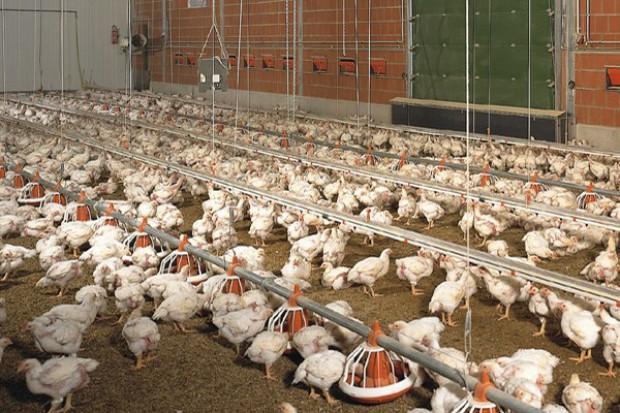 Polska napędza unijny eksport drobiu