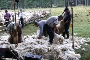 Samorząd daje pieniądze na hodowlę owiec