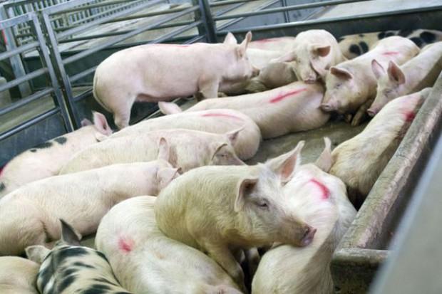Znieść zakaz mączki zwierzęcej w paszach dla świń i drobiu