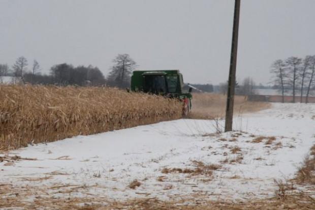Zimowe zbiory kukurydzy
