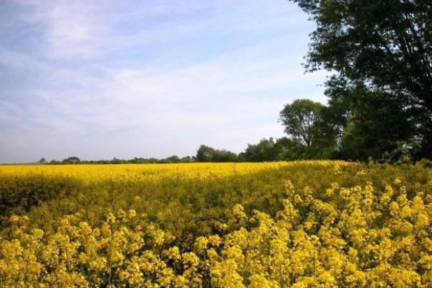 Rzepak jary – jaka odmiana ?