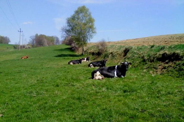 Długowieczne krowy