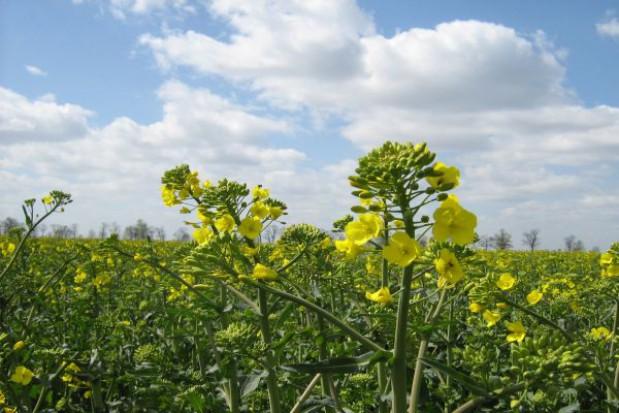 KZPR: Średnie plony rzepaku w tym roku mogą wynieść jedynie 0,5 t/ha