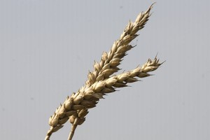 IERiGŻ: Zbiory zbóż będą w Polsce na podobnym poziomie jak w roku ubiegłym