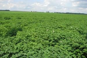 Efekt ekonomicznego odchwaszczania ziemniaków