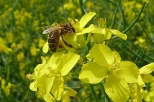 Co jest przyczyną wymierania pszczół?