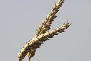 Susza wpływa na notowania cen zbóż