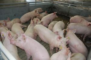 Klasyczny pomór świń 100 km od polskiej granicy