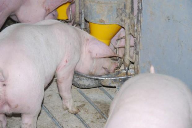 Przemyślane żywienie świń w upały