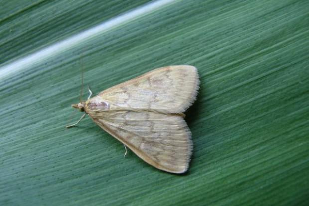 Omacnica prosowianka - zaczęły się loty motyli