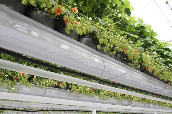 Uprawa truskawek w rynnach może zyskać na popularności
