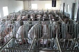 Zła koniunktura nie sprzyja doskonaleniu polskiej hodowli świń