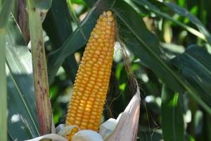 Ile kosztuje produkcja kukurydzy