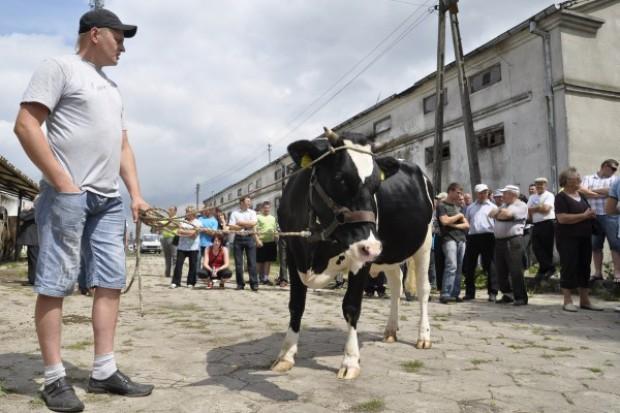 Średnio 4800 zł za jałówki w Czarnocinie