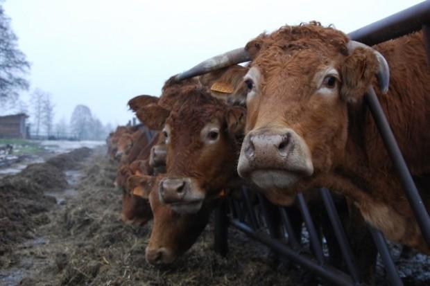 Będzie wsparcie dla producentów wołowiny QMP?
