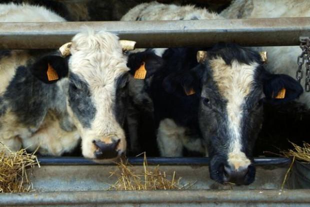 Uwaga na niedobór składników w dawce dla bydła