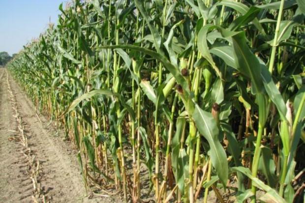 GMO doprowadzi do upadku drobnych gospodarstw?