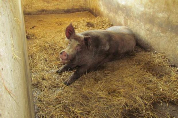 Zła jakość nasienia obniża płodność całego stada