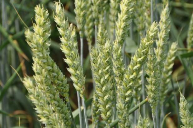 Nowe odmiany pszenicy ozimej