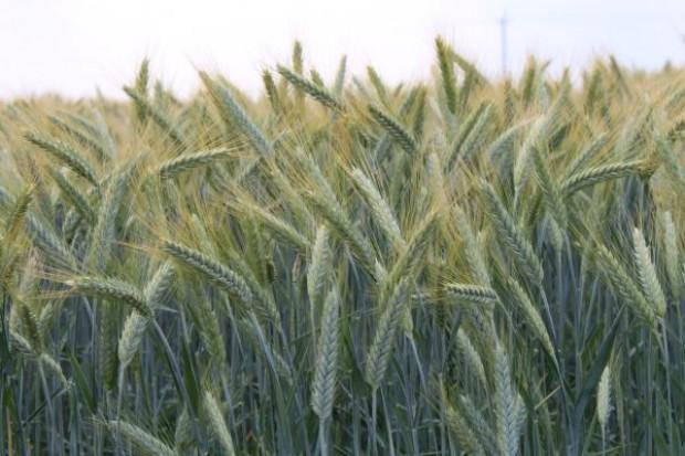 Nowe odmiany pszenżyta ozimego