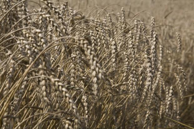 Ile wysiewać hybrydowej pszenicy ozimej?