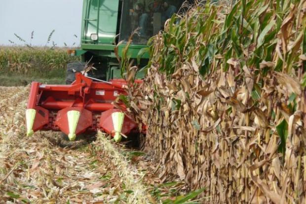 Więcej kukurydzy ziarnowej