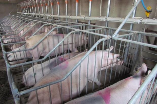 Czechy: Producenci świn mogą liczyć na pomoc państwa
