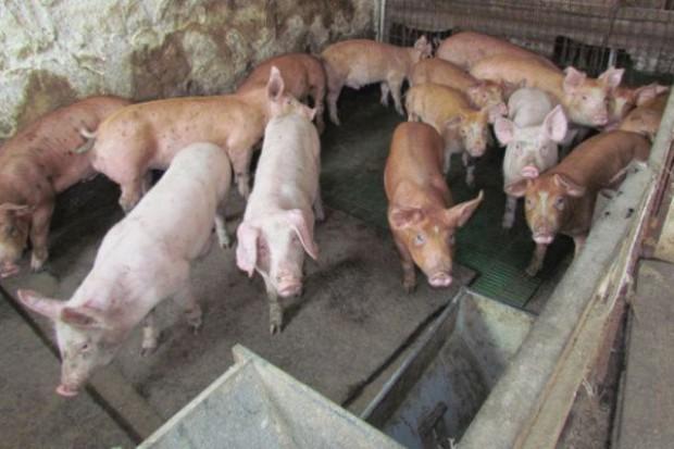 Wysokie ceny pasz nie oszczędzały w tym roku hodowców świń