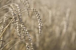 GUS szacuje zbiory zbóż podstawowych ogółem na około 26,3 mln ton
