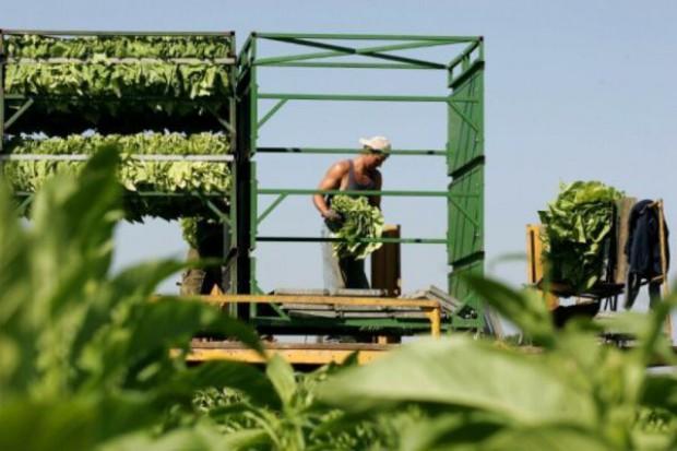 MR chce, by od 2012 r. były dopłaty do upraw wysokiej jakości tytoniu