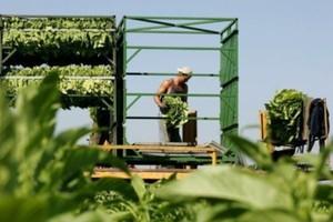 Plantatorzy tytoniu: Produkcja jest nieopłacalna bez dopłat