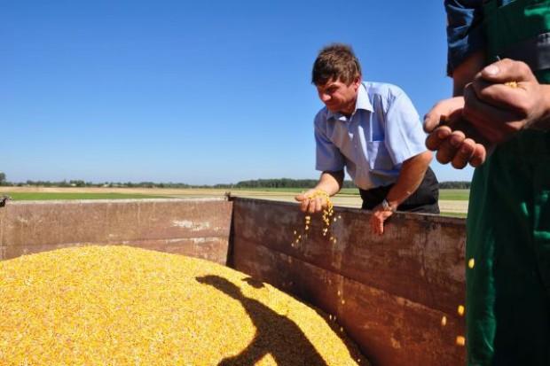 Kukurydza nadal tanieje