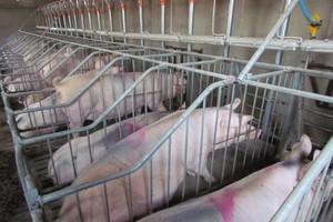 Podstawa to wykorzystać potencjał rozrodczy świń