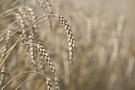 CDR: Pod koniec roku ceny zbóż podobne jak we wrześniu, rzepak będzie droższy