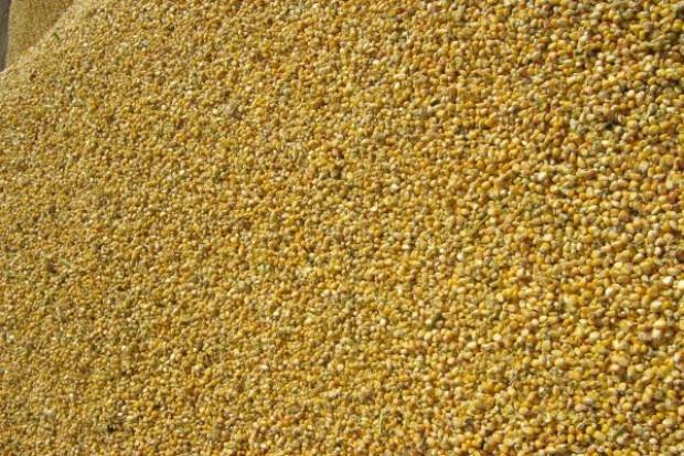 Brak nasion kukurydzy w nowym sezonie
