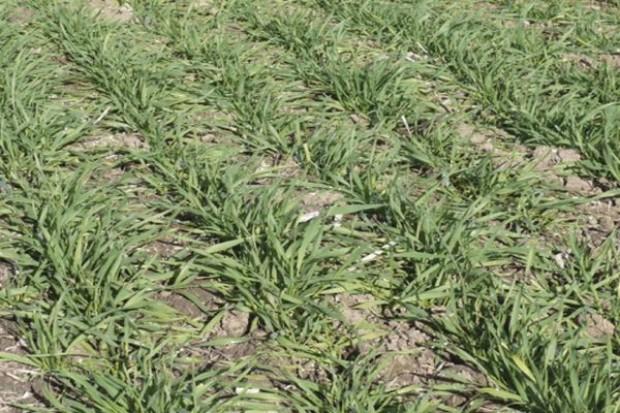 Słabe wschody zbóż – przez suszę