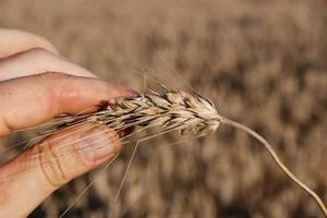 Tydzień na rynku terminowym - spadki cen zbóż i rzepaku