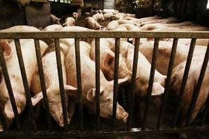 W tym roku listopadowe ceny wieprzowiny zaskoczyły wszystkich