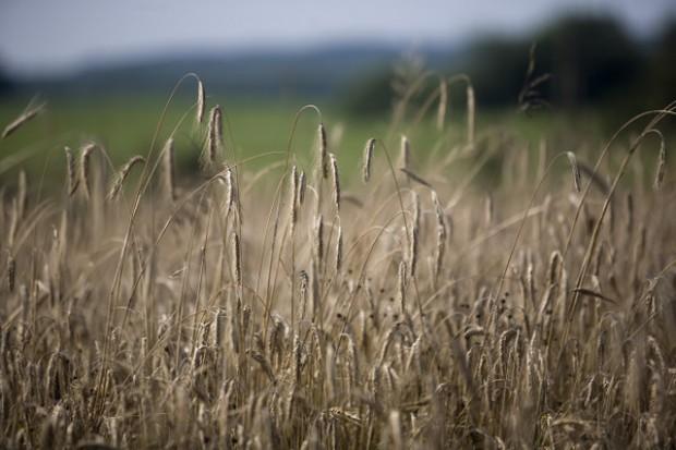 Wzrost cen rzepaku i spadki zbóż