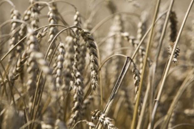 W skupach ceny pszenicy spadają