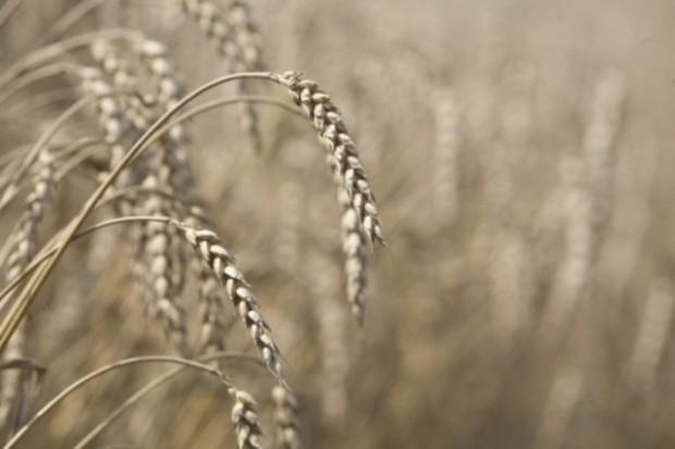 Krytyczny tydzień na giełdach terminowych zbóż