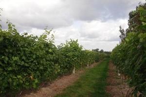 Utrzymanie prawa sadzenia dla wszystkich typów wina
