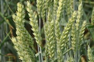 Niewiele białka w pszenicach jakościowych