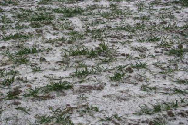 Zróżnicowany stan plantacji zbóż przed zimą