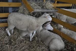 Hodowcy owiec liczą na unijne dopłaty
