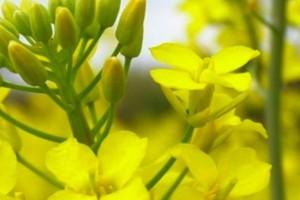 Bayer wchodzi na rynek nasion rzepaku