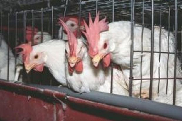 Ruszają procedury karne za łamanie przepisów o kurach nioskach