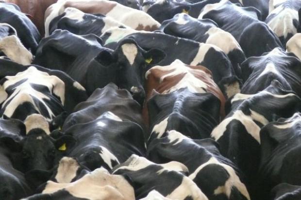 Krowy z materacem wapniowo-magnezowym