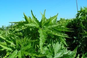 Rośliny potencjalnie przydatne do produkcji biomasy na użytkach rolnych