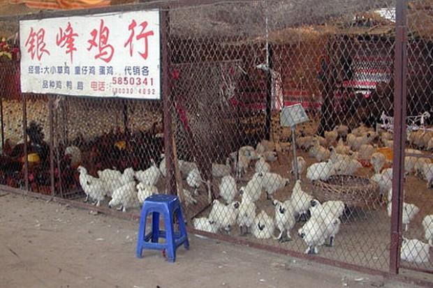 W Chinach znów atakuje ptasia grypa